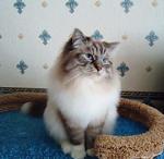 Ланцелот Жемчуг Невы (фото)