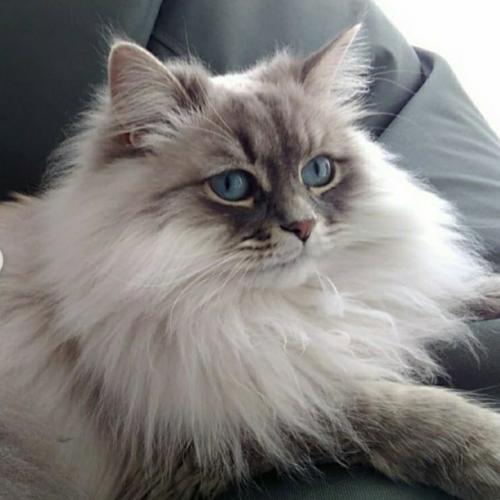 Agnessa Fairy Lynx (фото)