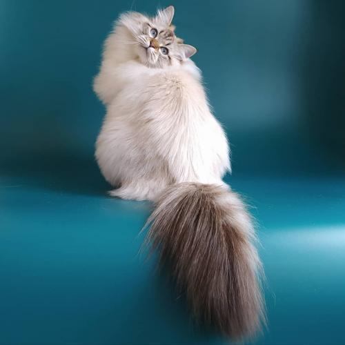 Agata Fairy Lynx (фото)