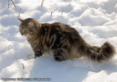 Черномор Сибирское Очарование (фото)