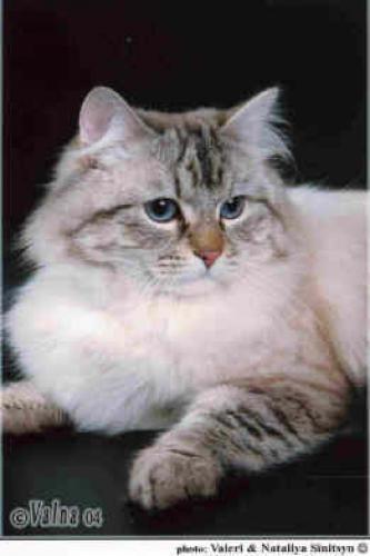 Фанфан-Тюльпан Синеглазый Ангел (фото)