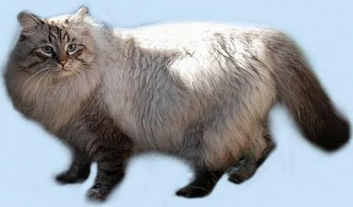 Зорион Сибирский Самоцвет (фото)
