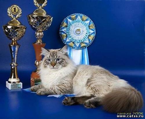 Цицерон Сибирский Самоцвет (фото)