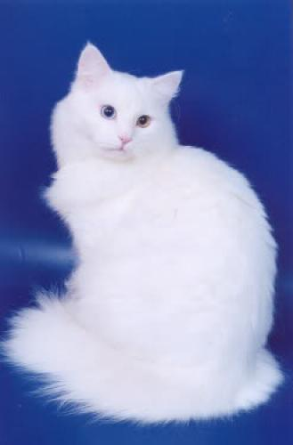 Бальтазар Саржи Белый Сибиряк (фото)