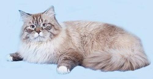 Фаворит Сибирский Самоцвет (фото)