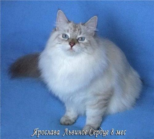 Ярослава Львиное Сердце оф Ангел Невы (фото)