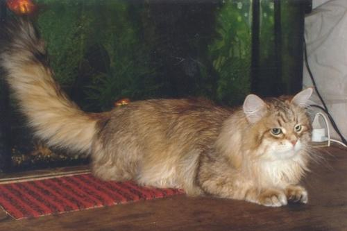 Тайгер Оникс Глория (фото)