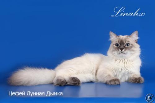 Цефей Лунная Дымка (фото)