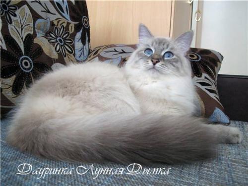 Дауринка Лунная Дымка (фото)