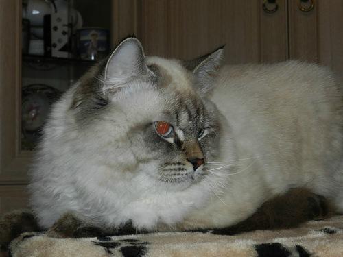 Благородный Амур (фото)
