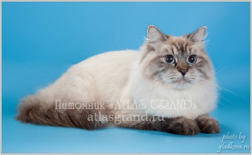 Элли Жемчуг Невы of Atlas Grand (фото)