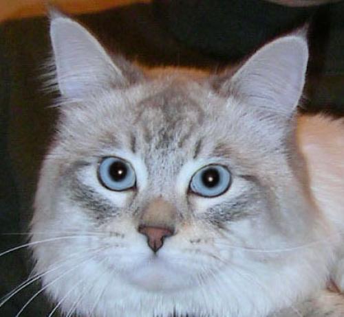 Зиментий Ирбис (фото)