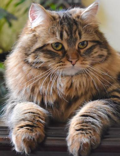 Зефиринка Сибирушка Краса (фото)