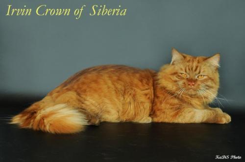 Ирвин Корона Сибири (фото)